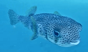 Porcupinefish swimming towards camera.  Porcupinefish is an odd shaped fish and has black polkadots