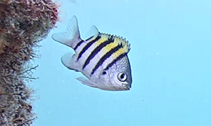 Sergeant Major - small fish with black and white stripes and a touch of yellow on top.