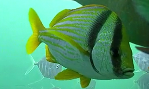 Porkfish - yellow and white striped fish that is so colorful the contract between the 2 colors almos