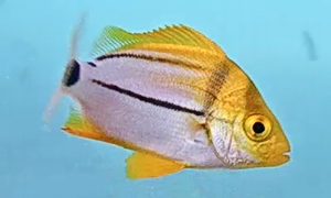 Porkfish Juvenile - more of a white fish with 2 black stripes running down vertically - one of top a