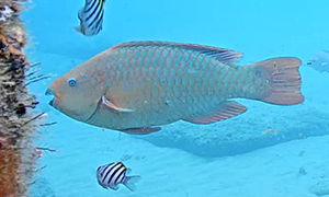 Rainbow Parrotfish - beautiful iridescent scales, the front of the fish is more of a red hue where t
