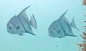 Two Atlantic Spadefish swimming by the piling. The fish are white with black stripes.  They look lik