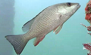 Grunt - Sailors Choice.  The body of this fish has reddish brown dots covering the silver body.