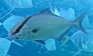 Juvenile amberjacks have five dark body bands that are vertically irregularly split with a sixth ban