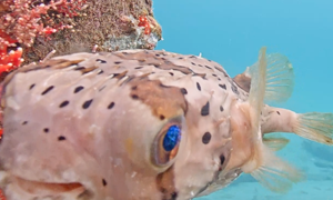 Balloonfish - teardrop-shaped body with brown blotches & black spots over entire body. Large iridesc