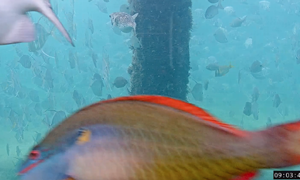 Redband Parrotfish blurry picture of a pink finned large scaled with yellow pink and silvery tint. H