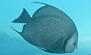 French angelfish - black fish with yellow outlined black circles with a white mouth.