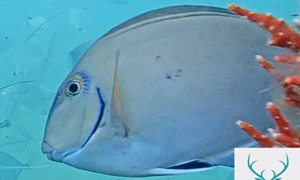 Similar to the Doctorfish & Blue Tang but has blue marking up nose and over eye makes it look like b