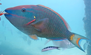 Stoplight parrotfish terminal phase, beautiful pinks, iridescent blues and aqua greens